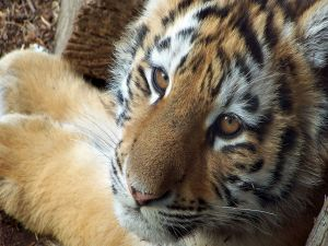 Face of a young tiger