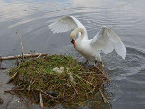A swan on nest