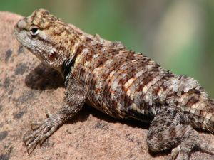 Scaly lizard