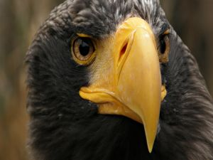 Eagle with yellow beak