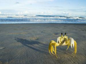 Yellow crab on the beach