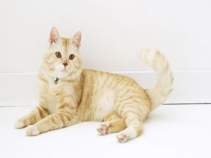 Blond and white cat