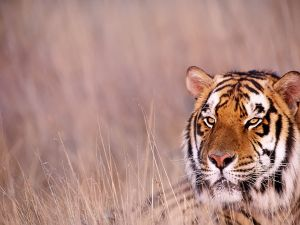 Tiger with watchful eyes