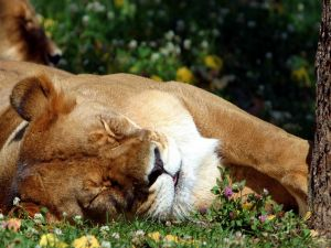 Lioness asleep in the grass