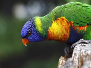 A Rainbow Lorikeet