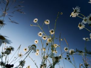 White daisies and the sky