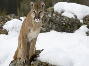 Cougar over a rock in the snow