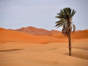 Lonely palm tree in the desert