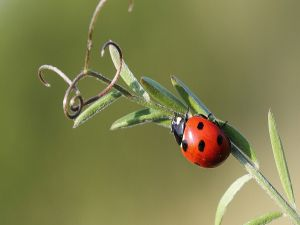 Ladybird walking for a branch