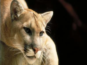 The gaze of cougar