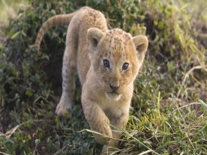 The lion cub approaching
