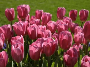 Pink tulips in the grass