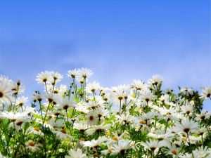 Set of white daisies
