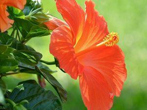 Orange flower of hibiscus