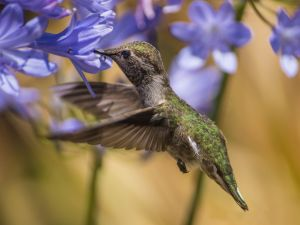 Hummingbird among blue flowers