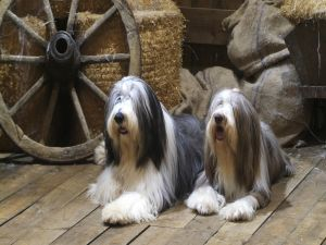 Dogs with long hair