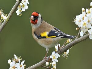 Goldfinch on a branch with white flowers