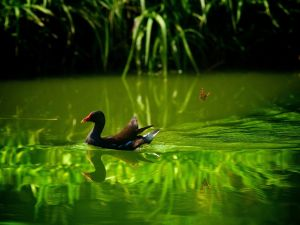 A duck and a butterfly in a pond