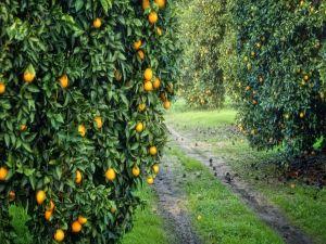Path with orange trees