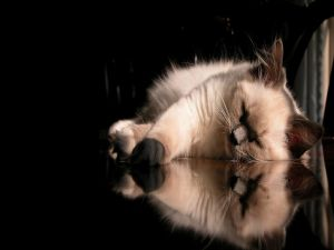Sleeping cat and its reflection