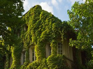 House covered by green plants