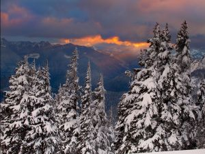 Large pine trees with snow