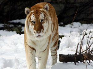 Big tiger with tired eyes