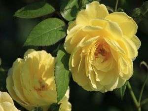 Yellow roses in the rose bushes