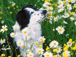 Dog among daisies