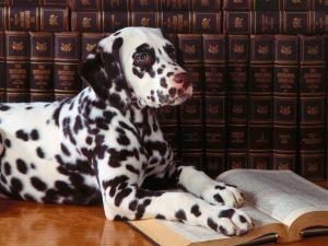A reader dalmatian