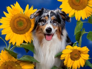 Dog between sunflowers