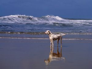 Dalmatian alone on the beach
