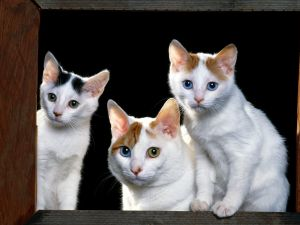 Cats with eyes in various colors