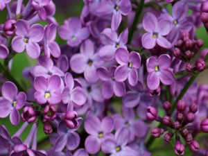 Set of small lilac flowers
