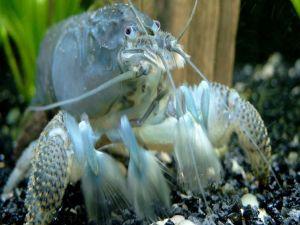 A crustacean in the water