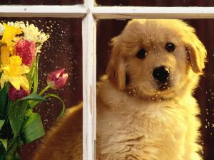 Puppy in the window on a rainy day