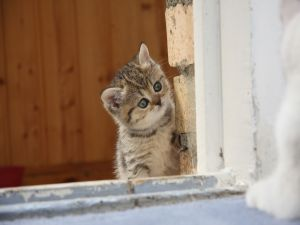 Nosey kitten in the window