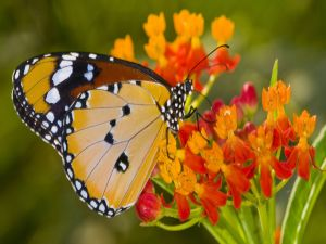 Butterfly with white spots