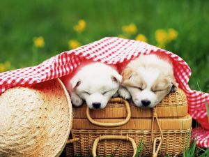 Puppies in a picnic