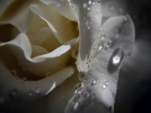 White rose petals with water drops