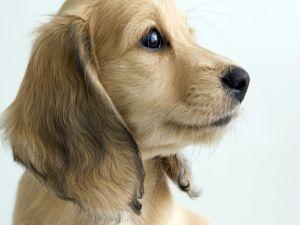 Dog of profile