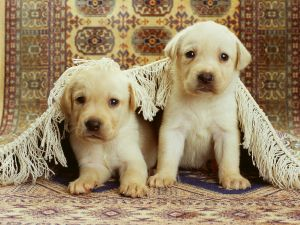 Two puppies under the carpet