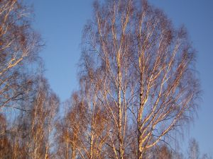 Leafless trees and blue sky