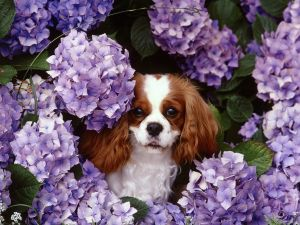 Dog between the hydrangeas