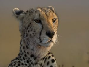 The face of a nice cheetah
