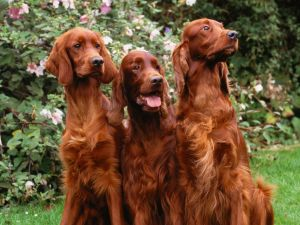 Three brown dogs