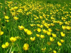 Yellow flowers on a green field