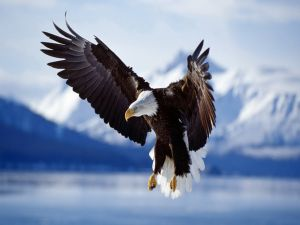 Bald eagle with outstretched wings