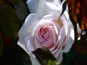 Beautiful and delicate rose