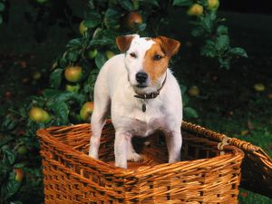 Dog into the basket of apples